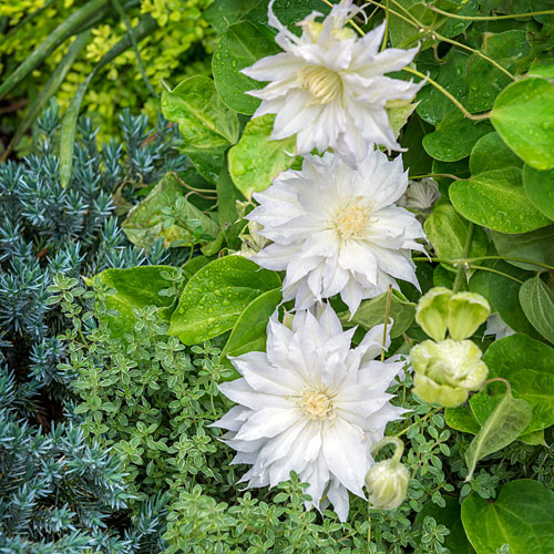 Clematis and thyme