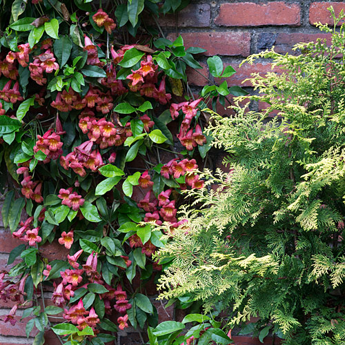 CrossVine on brick wall